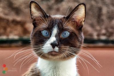 Gato portugal